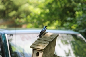 TreeSwallowPerched-Bierlie