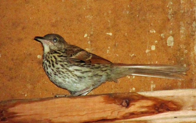 Photo by Bryan Stevens A fledgling Brown Thrasher perches on a ledge inside a garage.
