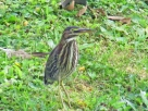 Photo by Bryan Stevens A young Green Heron rests at the edge of a pond.
