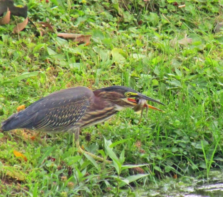 Photo by Bryan Stevens A Green Heron finesses a captured tadpole in its bill.