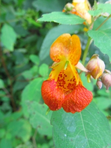 Photo by Bryan Stevens Spotted Jewelweed is a common wildflower on moist, shady slopes of the Roan.