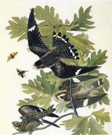 john_james_audubon_common_nighthawk_bird_print