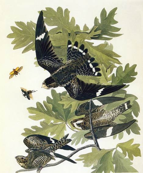 john_james_audubon_common_nighthawk_bird_print
