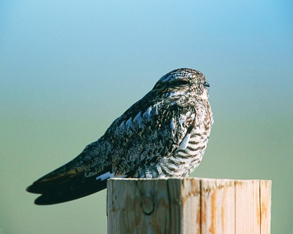 Photo by U.S. Fish and Wildlife Service A Common Nighthawk finds a perch for a brief rest.