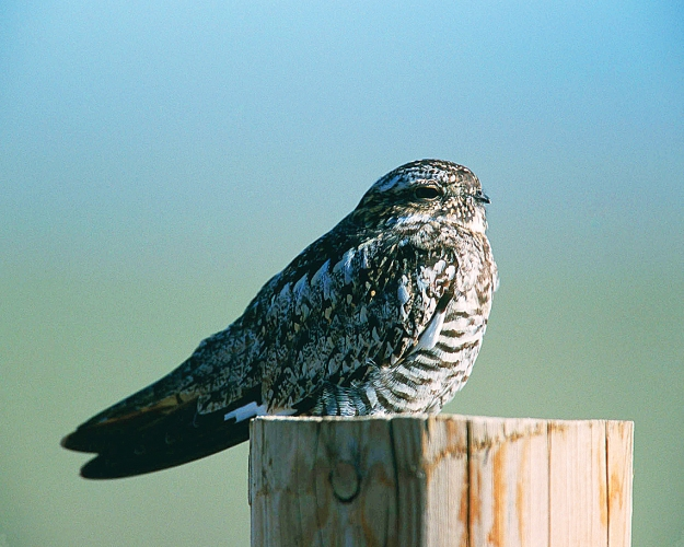 Nighthawk-PHOTO