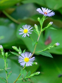 Photo by Bryan Stevens Asters, which come in a variety of colors, are usually a late-blooming wildflower.