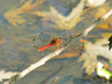 Photo by Bryan Stevens The aptly-named Autumn Meadowhawk is one of the last dragonflies to emerge each year.