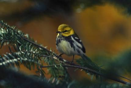 BlackThroated_Green_Warbler_Female