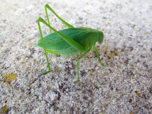 Photo by Bryan Stevens Katydids, some resembling nothing so much as a green leaf, are becoming more prominent as summer transitions into fall.