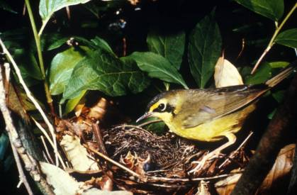 Photo by U.S Fish and Wildlife Service A Kentucky Warbler brings food to young in a nest.