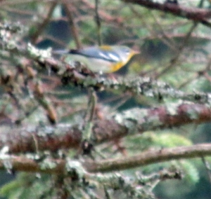 NorthernParula