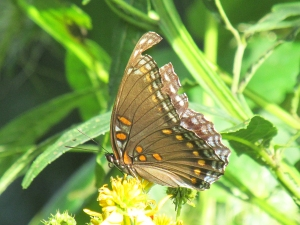 Photo by Bryan Stevens  Many butterflies, such as this swallowtail, look rather tattered this far into the season.