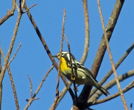 Photo by Bryan Stevens  A Yellow-throated Warbler makes a migratory stop in my yard on the first day of September.