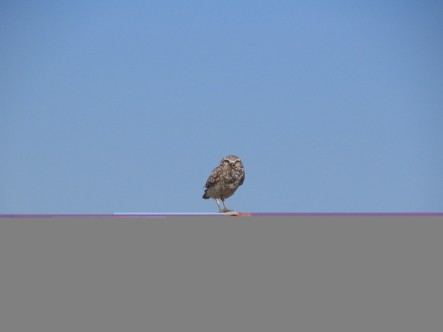 Photo by Bryan Stevens A Burrowing Owl photographed in 2006 at Antelope Island State Park in Utah.