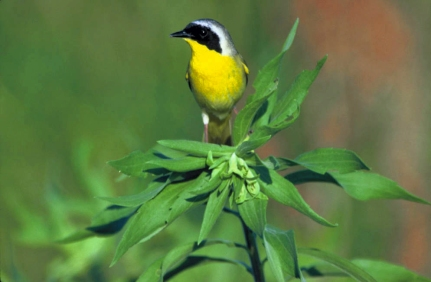 Common_Yellowthroat (1)