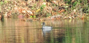 Photo by Bryan Stevens An American Coot on the Watauga River.
