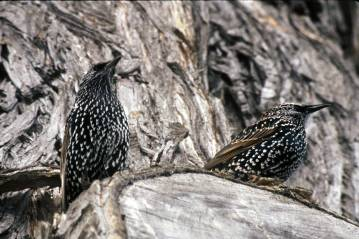 Photo by U.S. Fish & Wildlife Service The European Starling ranked as the most common species on the count.