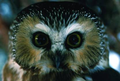 Photo by U.S. Fish & Wildlife Service Nothern Saw-whet Owl appeared on this year's count, as the species has done for eight of the past 10 years.