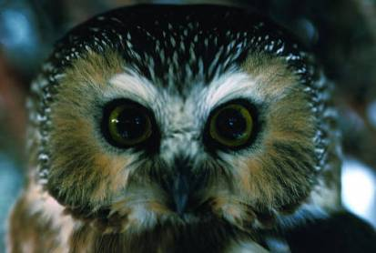 Photo by U.S. Fish and Wildlife Service The tiny Northern Saw-whet Owl nests on several of the region's higher mountains.