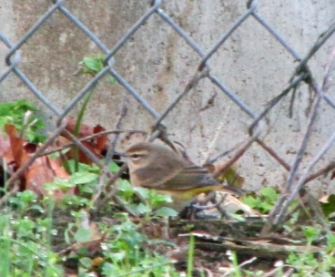 Photo by Bryan Stevens A Palm Warbler forages along a chain-link fence.