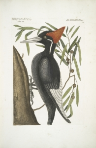 A painting of an Ivory-billed Woodpecker by Mark Catesby, an English naturalist.