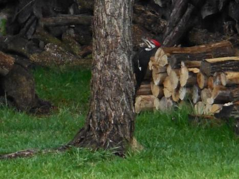 Photo courtesy of Tom and Helen Stetler A Pileated Woodpecker forages on a willow tree at the Elizabethton home of Tom and Helen Stetler.