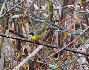 Photo by Bryan Stevens A male Common Yellowthroat visits an overgrown thicket during fall migration. Photo by Bryan Stevens A male Common Yellowthroat visits an overgrown thicket during fall migration.