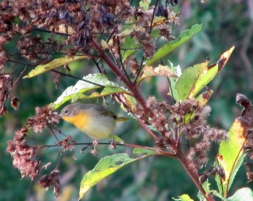 Yellowthroat-PyeWeeDForage