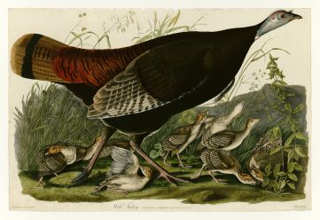 Early naturalist John James Audubon painted this wild turkey hen accompanied by her poults, or young.