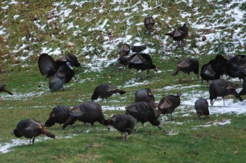 Photo by Bryan Stevens The thaw after a snow makes it easier for wild turkeys to forage for food.