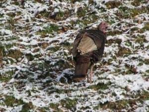 A Wild Turkey is ama amazingly resilient bird, capable of surviving in a variety of habitats.