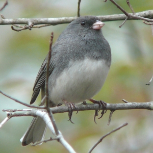 "Photo by Ken Thomas Cutline: Dark-eyed Juncos are also known as ""snow birds"" because of their tendency to flock to feeders ahead of a bout of snowy weather."
