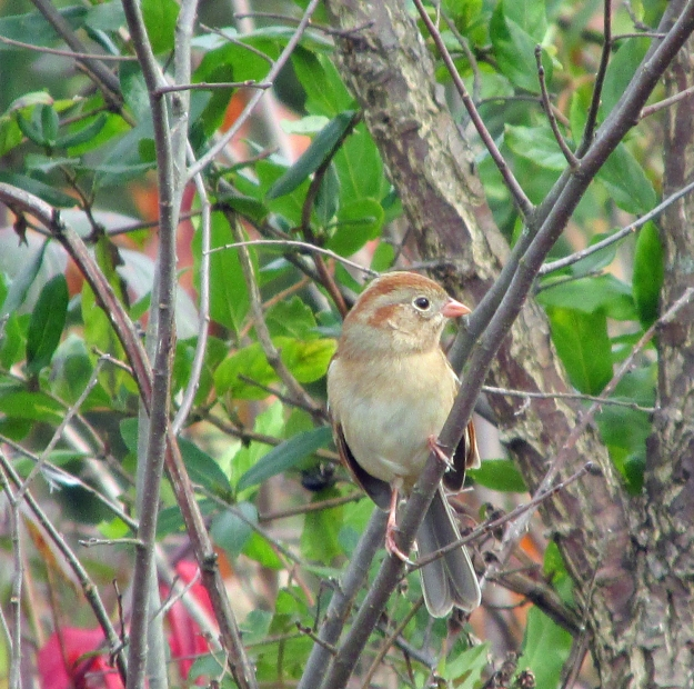 FieldSparrow-One