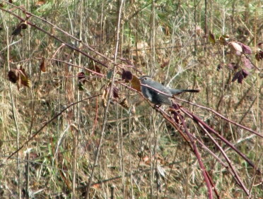 GrayCatbird-Nov22