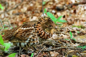 Photo by Jean Potter This Ruffed Grouse has inflated its namesake ruff of feathers.