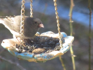 Junco-AtFeeder