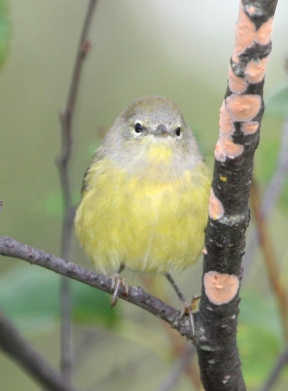 Photo by U.S. Fish & Wildlife Service The faint gray streaks on the breast helps distinguish the Orange-crowned Warbler from the related Tennessee Warbler.