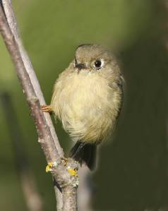 Rubycrowned_Kinglet (1)