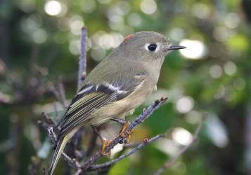 Rubycrowned_Kinglet