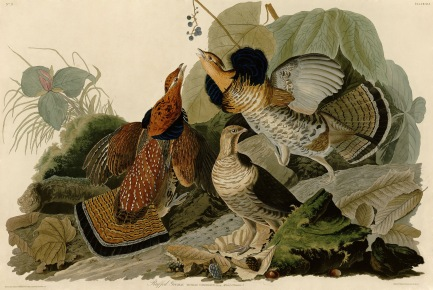 Early naturalist John James Audubon painted this scene dominated by a group of Ruffed Grouse.