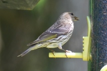 Photo by Jean Potter A Pine Siskin visits a feeder.