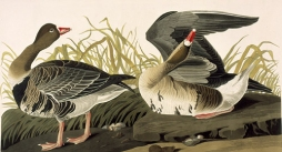 Early American naturalist John James Audubon painted this pair of Greater White-fronted Geese.