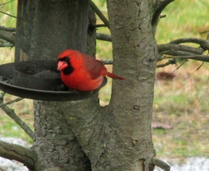 Photo by Bryan Stevens Cardinals are common visitors to backyard feeders.
