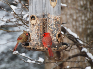 Photo by Jean Potter A pair of Northern Cardinals perch on a feeder for a meal of various seeds.
