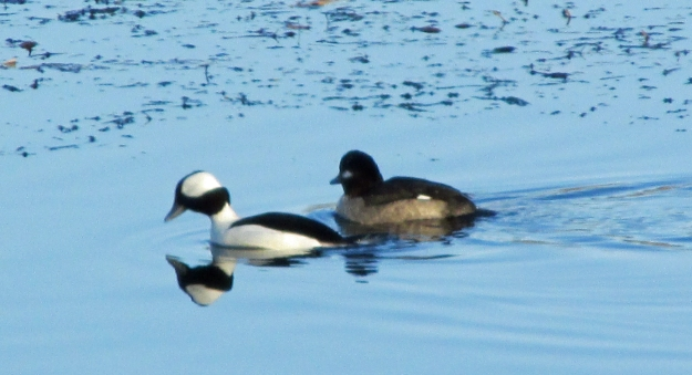 CBC-Bufflehead