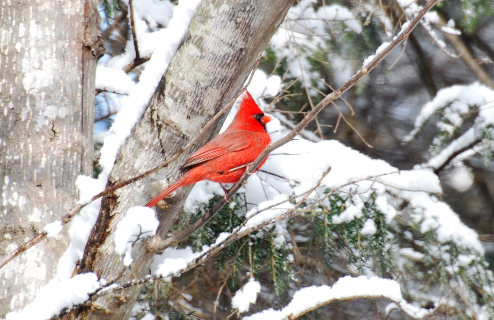 Cardinal makes a splendid symbol of christmas season our - Winter cardinal background ...