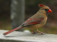 Photo by Ken Thomas Even the female Northern Cardinal offers observers admirable, subtle beauty.