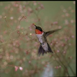 Photo by U.S. Fish & Wildlife Service A male Ruby-throated Hummingbird hovers in front of the camera. Ruby-throated Hummingbirds typically depart the region by mid-October.