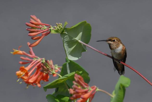 Photo by U.S. Fish & Wildlife Service A Rufous Hummingbird perches on a flowering vine.