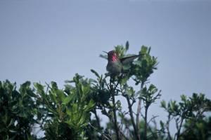 Annas_Hummingbird (1)